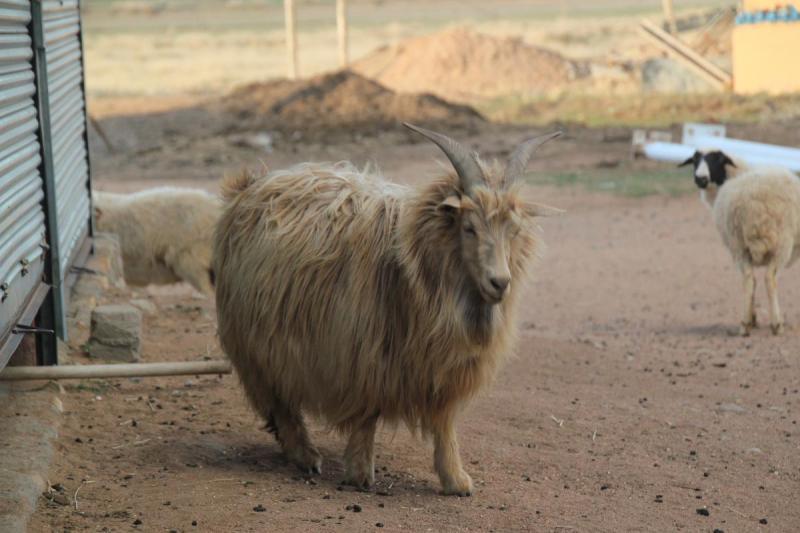 En av alla kashirgetter vi såg på bondgården i Inre Mongoliet