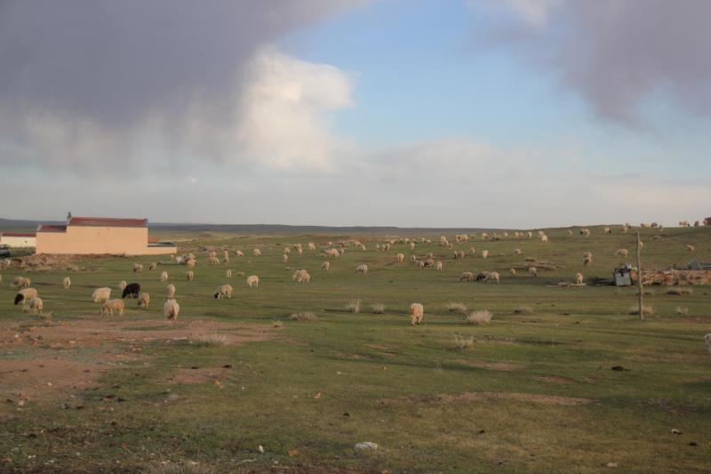 Kashmirgetter & får på Grassland i inre mongoliet